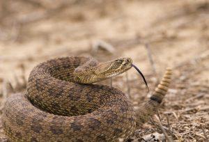 Rattlesnake Avoidance Clinic